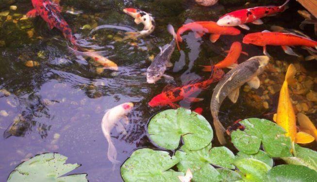 Koi pond with fish swimming