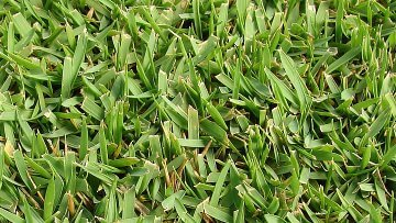 best grasses north texas