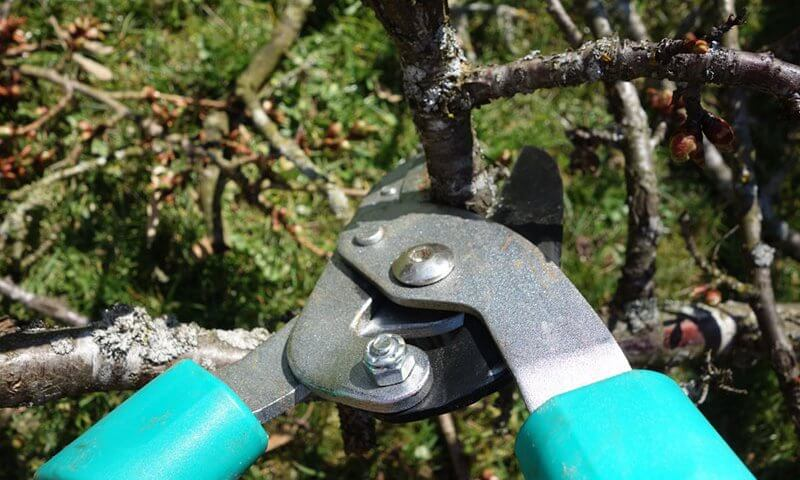 proper-pruning trees shrubs north texas